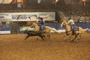 team ropers on palomino horses roping a brown steer