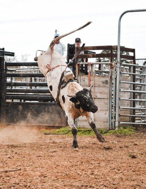 bucking bull with a dummy