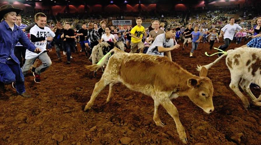 what is a calf scramble