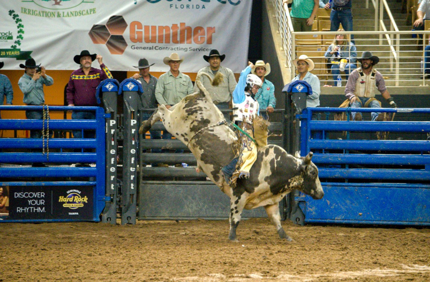 bull rider riding a brown and white spotted bucking bull in front of blue chutes